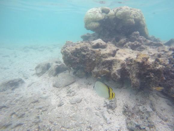 瀬底ビーチ フウライチョウチョウウオ