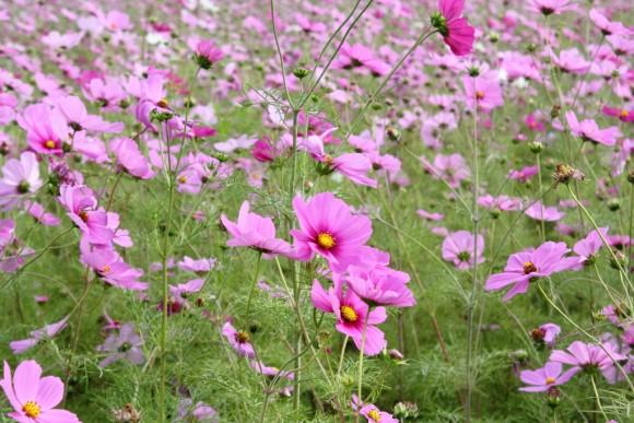 沖縄コスモス畑