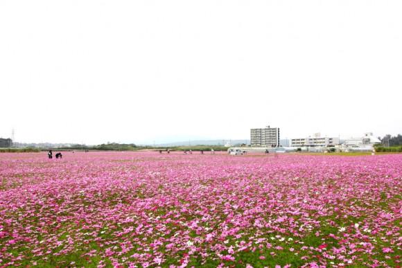 名護市コスモス畑