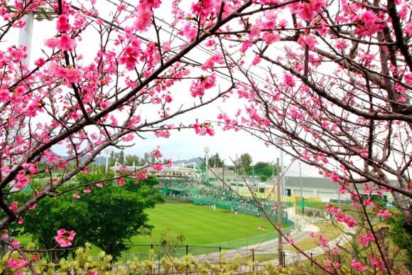 阪神タイガース沖縄キャンプ桜